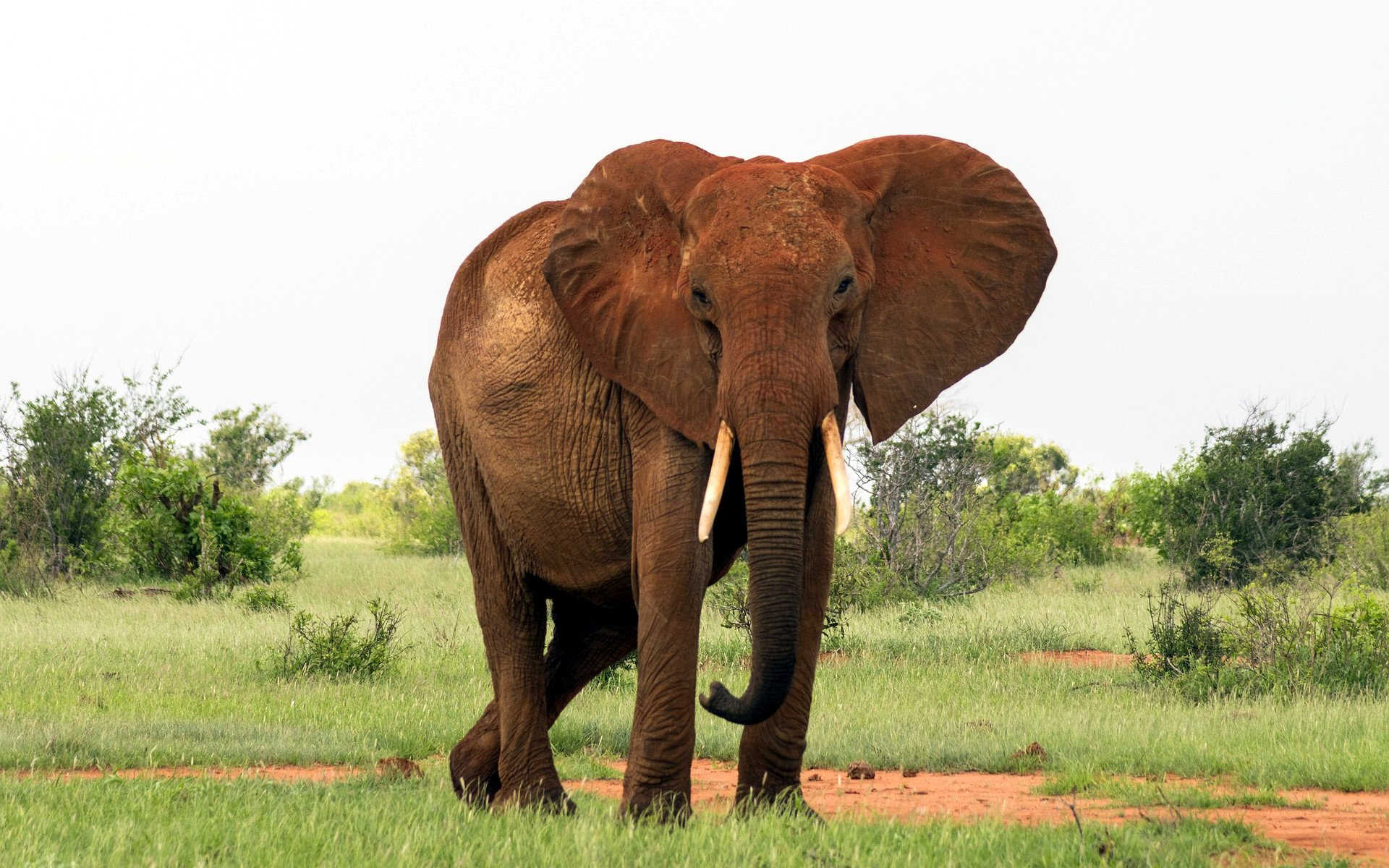 Elephants, like Parrots, have been known to mimic sounds they hear in their environment.