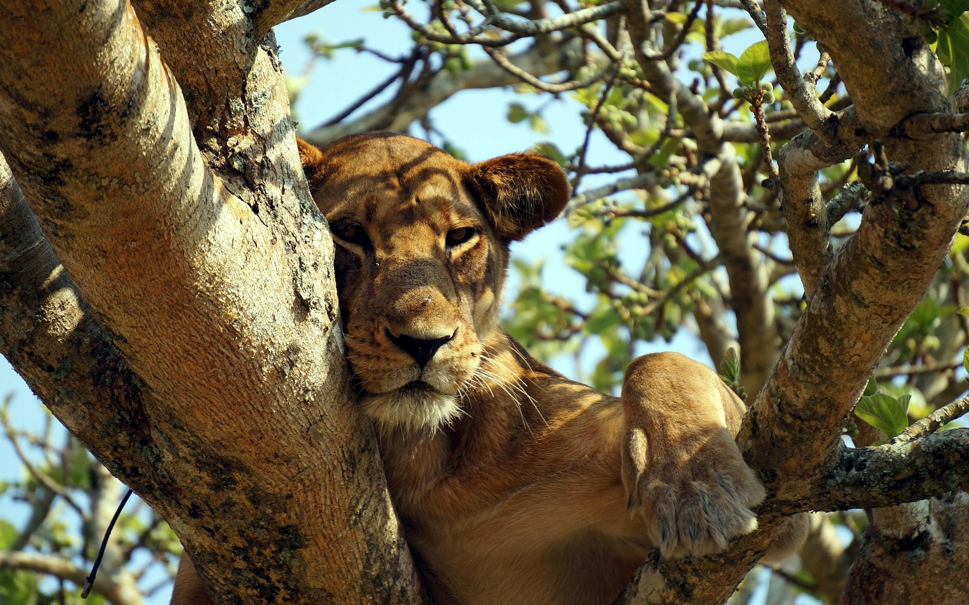 Lions are very social animals and tend to live in prides of related members but did you know that the males in a pride are poor fathers-in-law?