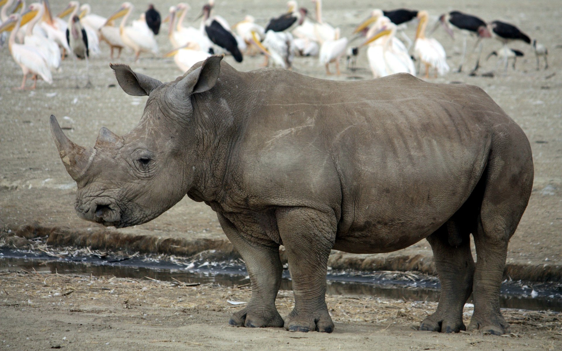 Did you know that rhinos are related to horses, zebra and tapir?
