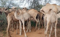 6 Amazing Camel Facts You did not Know