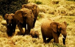 Elephant Numbers in Tsavo-Mkomazi Show Promise