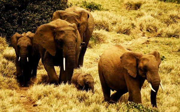 Elephant Numbers in Tsavo-Mkomazi Show Promise