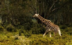 With less than 670 Rothschild's giraffe in the wild, the IUCN has now categorised the subspecies in their Red List as 'Endangered'.