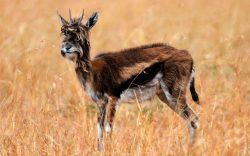 Strange Hairy Antelope Spotted in the Maasai Mara