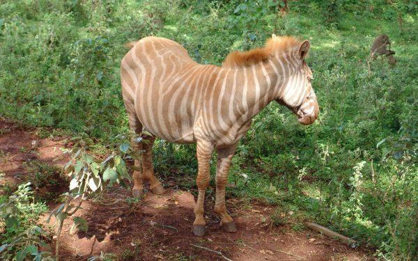 Nairobi Animal Orphanage Adopts Rare Zedonk