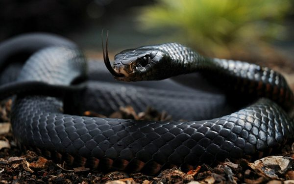 Kenya has 126 snake species. Five of them are Africa's most dangerous snakes. Most people see a single one of these shy and elusive reptiles in their lives.