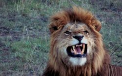 When on a game drive in Kenya, avoid these 6 things that upset a lion, if you come across one. It could easily become a matter of life and death for you.