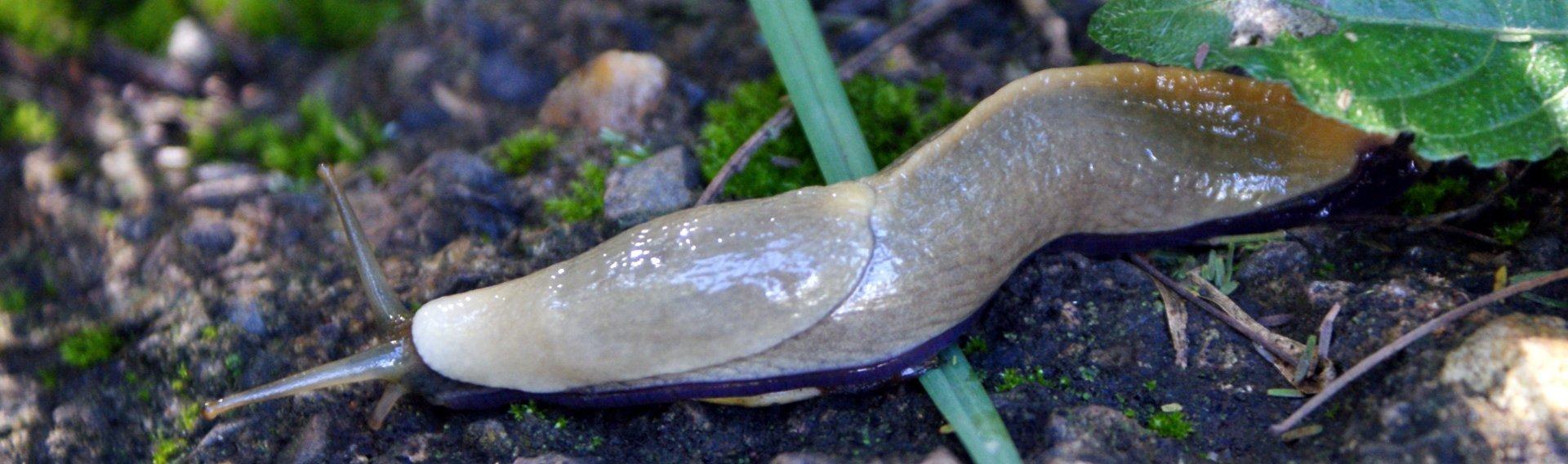 Slug With Purple foot