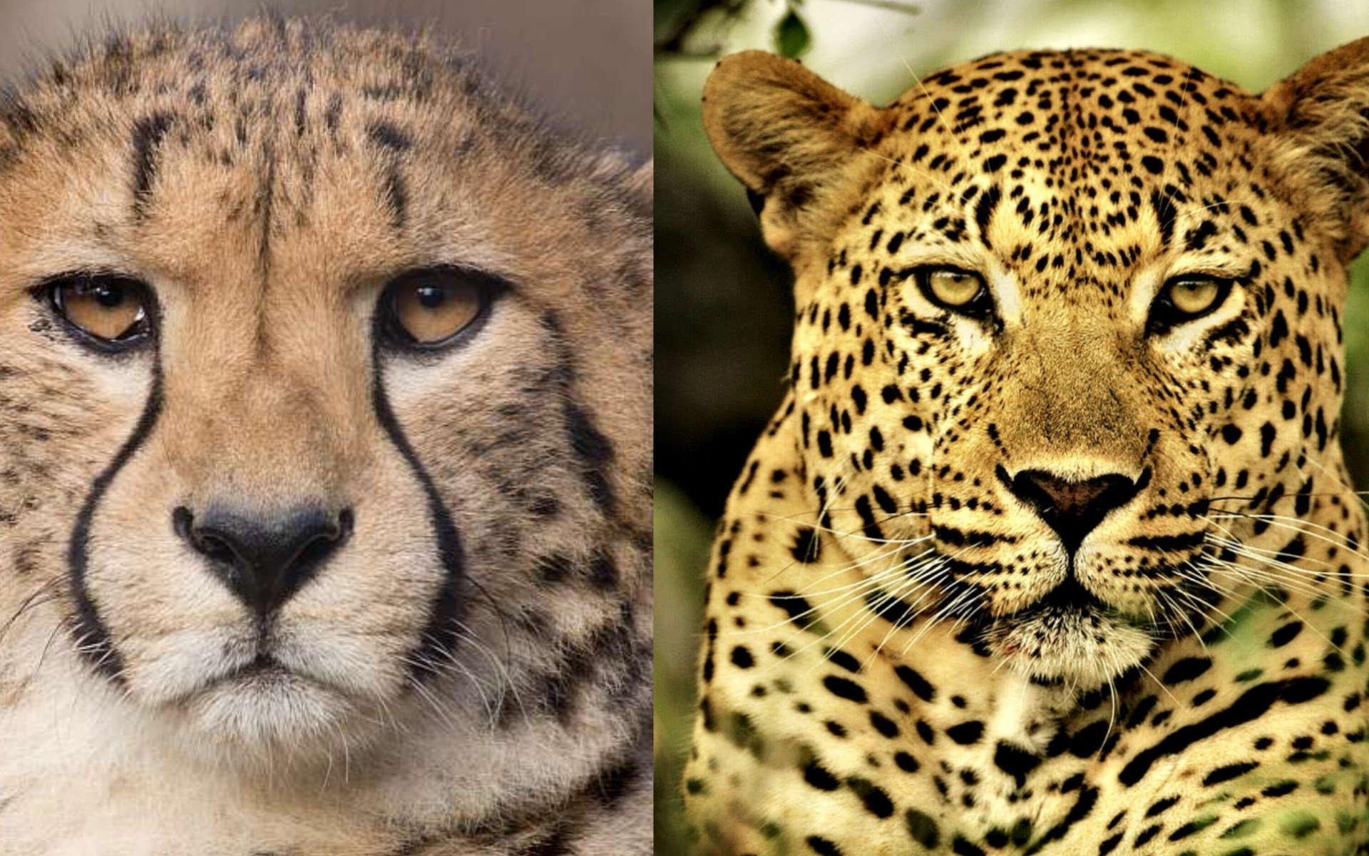 12 Reasons a Leopard is not a Cheetah | Kenya Geographic