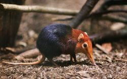 Scientists conducting research in the Boni-Dodori forest on the coast of northeastern Kenya may have discovered a new species of giant elephant-shrew.