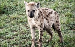 If someone asked you what kind of wild animal you would like to have as a pet, most of us would say a lion, tiger, leopard or a wolf but never a hyena.