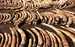 Police nab largest ivory haul in recent years