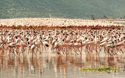 Lake Bogoria this year overtook Lake Nakuru, holding the world's largest populations of lesser flamingos. 1.7 million lesser flamingos landed at the lake.