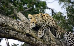 Have you had a Leopard stalk you for minutes and lived to tell the story? Paul Kamande shares one such story that happened in the Maasai Mara.