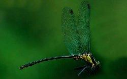 New dragonfly, Maathai's Longleg, named after Wangari Maathai