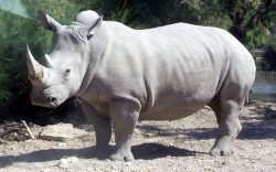 In September 1994, through a donation from the Natal Parks Board of South Africa, the number of white rhino in the Nakuru National Park rose from 8 to 18.