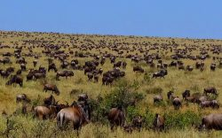 The great migration is one of the great events (if not the greatest) in the world that is as exhilarating as it is saddening to watch.