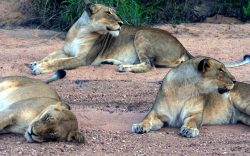 What makes a lion develop a preference for human flesh? Is it genetics, adaptation, age or injury? This is the mystery behind the legendary man-eater lions of Tsavo that still intrigues all even today.