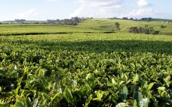 The heritage of tea growing in Kenya is an old and rich one but in the expansive tea plantations of Limuru, that heritage is fast fading away.