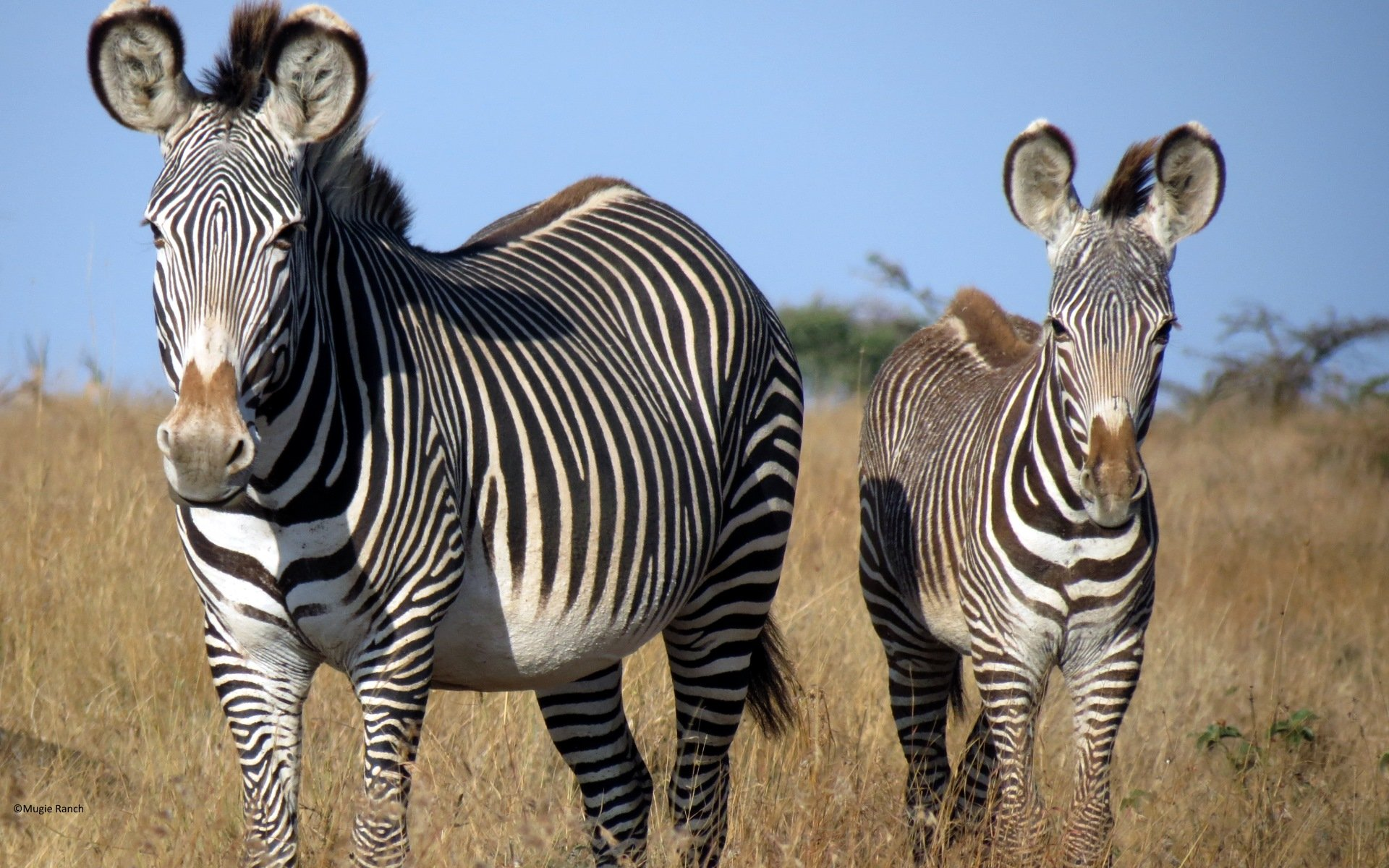 The Grevy's Zebra was once gifted to prominent people including presidents, Sultans and Governors. It is no wonder then it bears the name, imperial zebra.