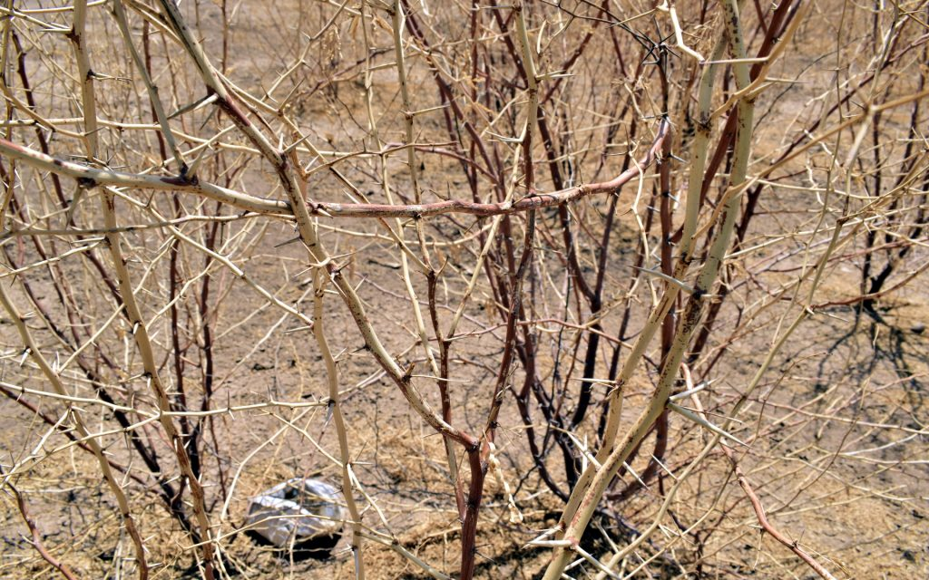 For the first time the dreaded Mathenge shrub, a hardy evergreen shrub, was now drying up.
