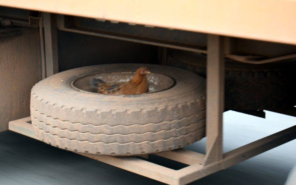 The mystery of Machakos seemed to have followed us on the way back to Nairobi when we came across this chicken comfortably perched in the spare wheel of a long haul track.