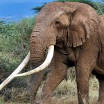 Tim, the iconic tusker from Amboseli National Park, died yesterday. How well did you know him? Here are 4 interesting things about his life and afterlife.