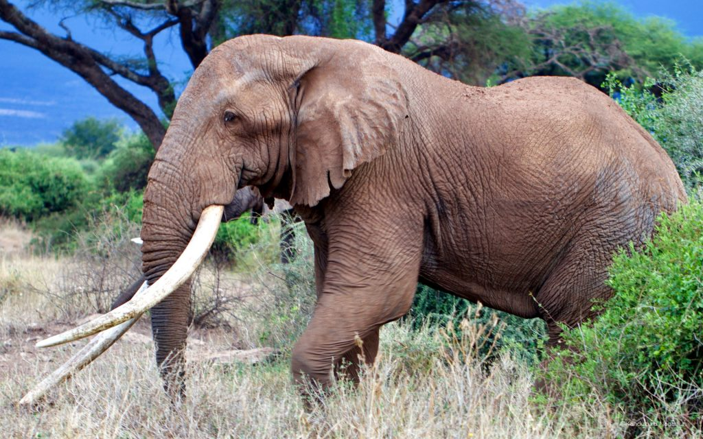 Tim had survived countless attacks from poachers in his lifetime.