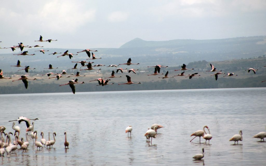 Lake Nakuru that was once the pride of the country for its healthy population of lesser flamingos throughout the year. Now, it rarely has any life.