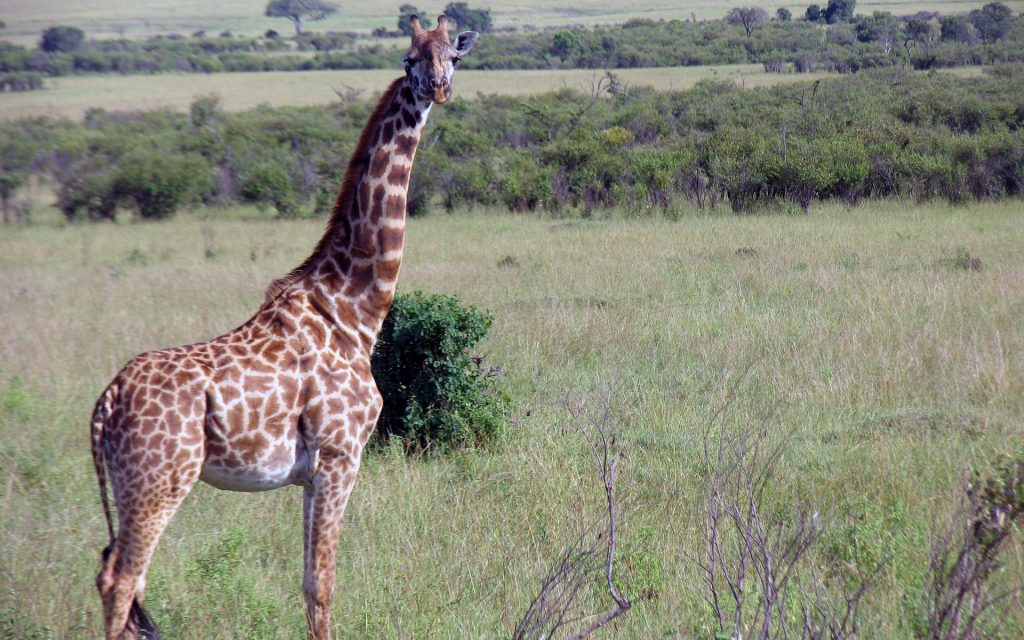 The Maasai giraffe is the largest of the Kenyan giraffes and all other subspecies.