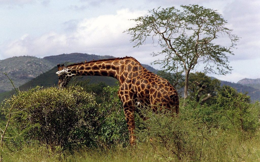 Reticulated Giraffes are more populous in the Northern part of Kenya.