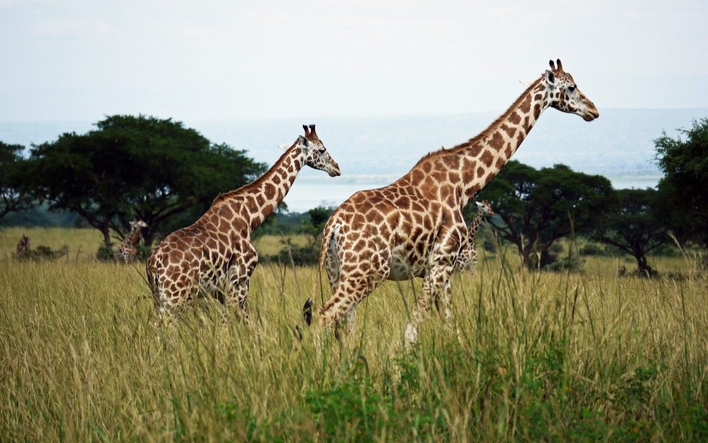 The Rothschild's giraffe, named after the famous zoologist Lionel Walter Rothschild, is widespread in the Rift Valley region of Kenya.