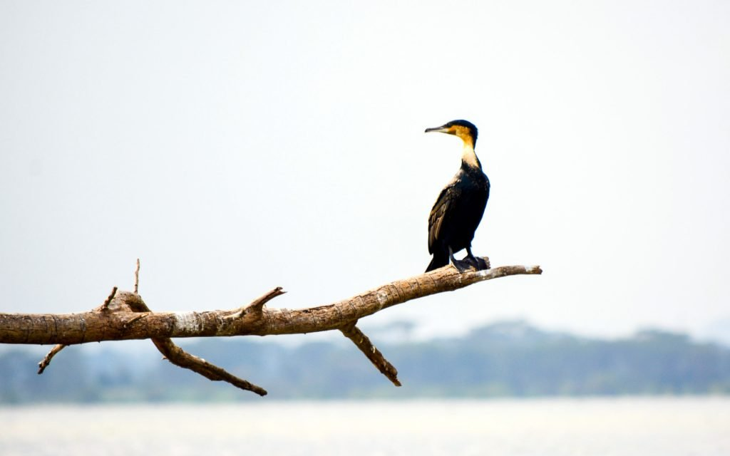Among the 350 bird species present in Lake Naivasha and the surrounding National Park include the African fish eagle, the goliath heron, Egyptian duck, giant kingfisher and the great white pelican.
