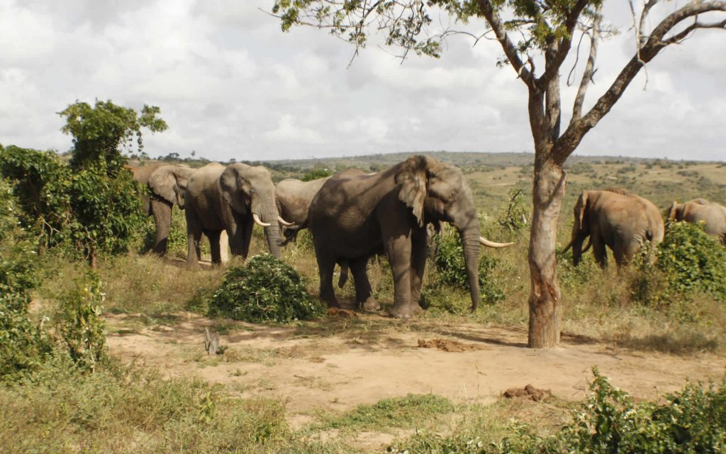 When the elephant population at Shimba Hills National Reserve became a problem, the Mwaluganje Elephant Sanctuary provided a solution.