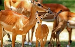 Kisumu Impala Sanctuary might not give you the thrill of the Big Five, but it certainly offers visitors fantastic photography opportunities.