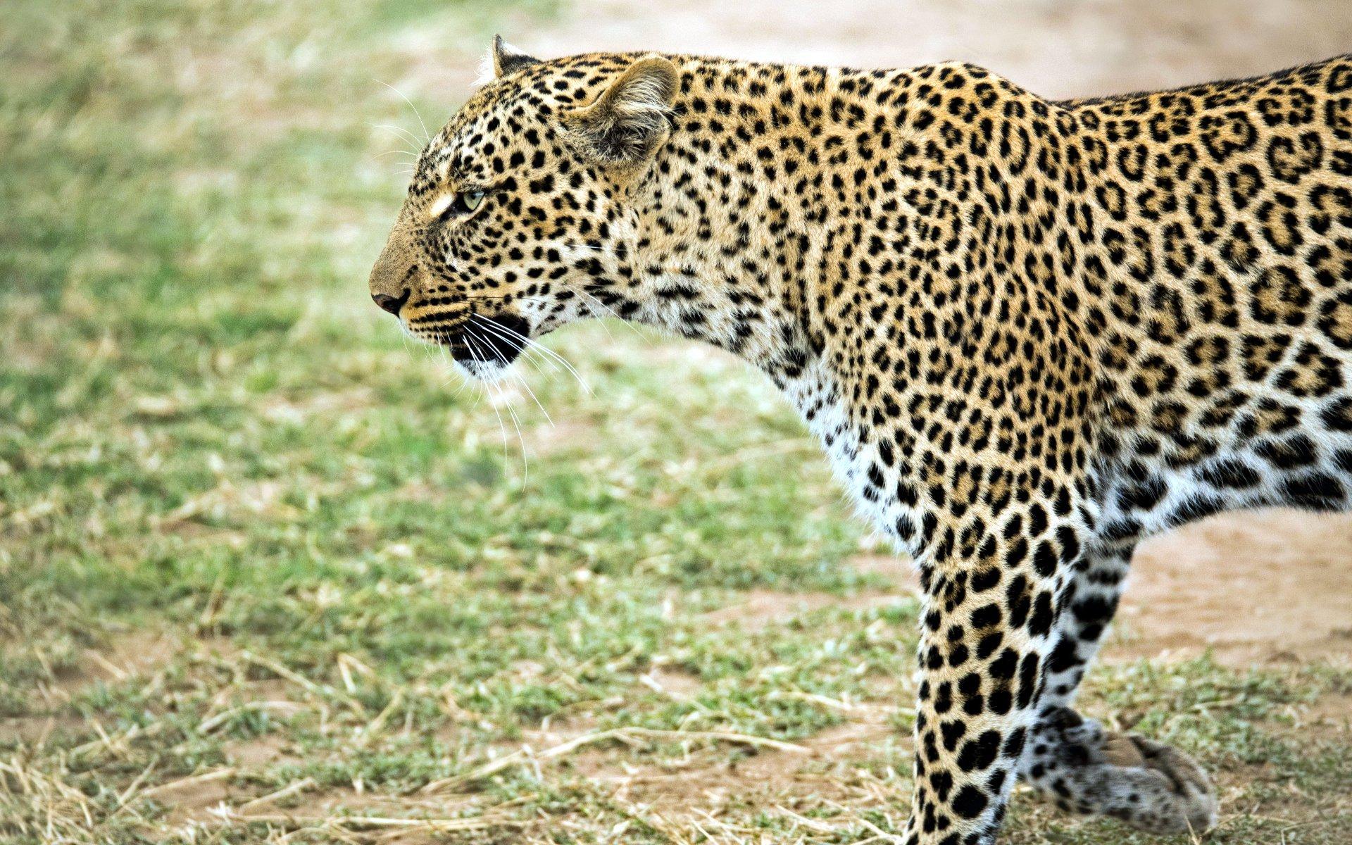Places to spot Leopards: Samburu National Reserve, Masai Mara National Park, Meru National Park, and Tsavo National Park.