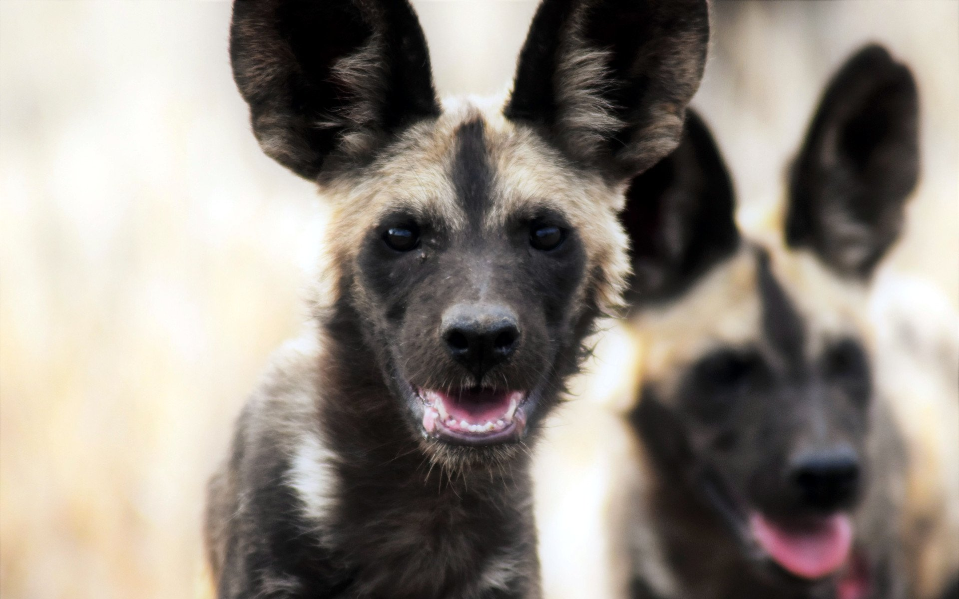 Places to spot the Wild Dogs: Mara North Conservancy, Mpala Center in Kenya, and Samburu National Reserve.