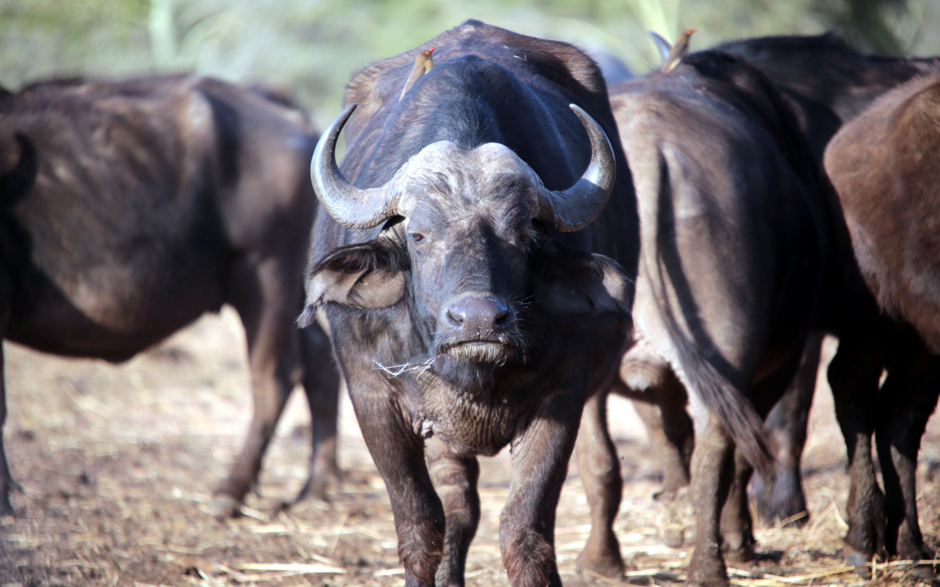 Places to spot Buffaloes: Samburu National Reserve, Meru National Park, Tsavo National Park, and Masai Mara National Park.
