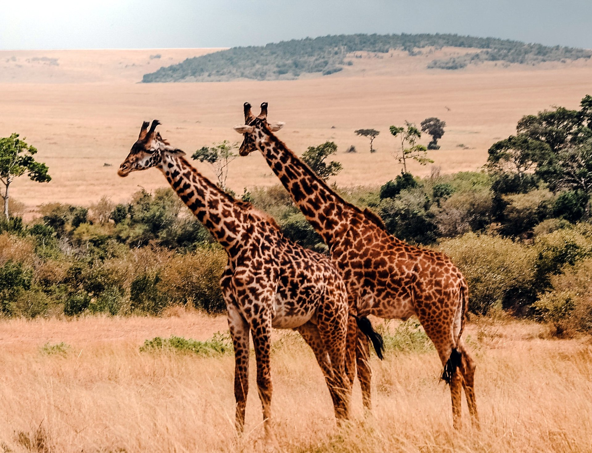 The best place to spot Giraffes: Masai Mara National Park.