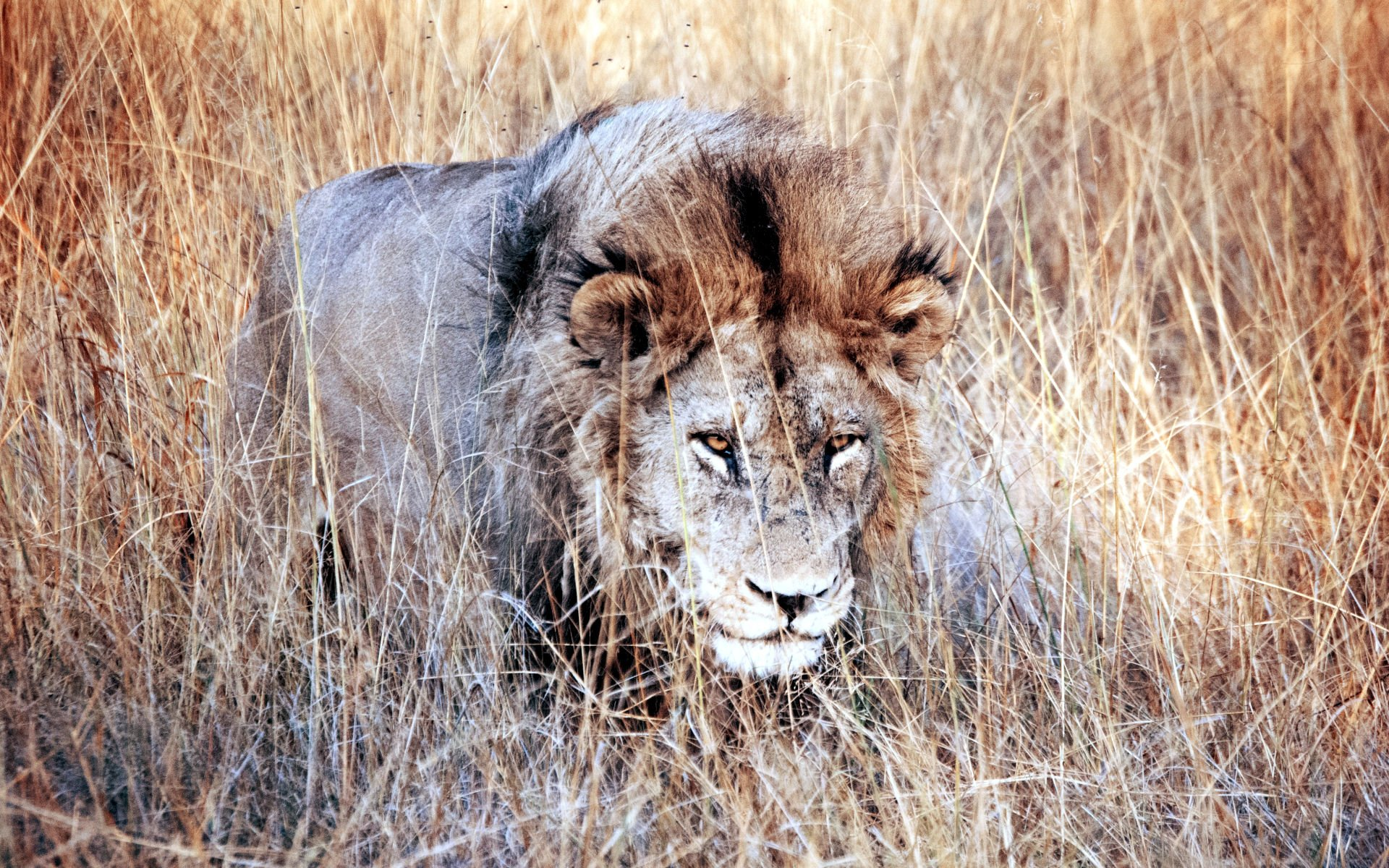 Places to spot Lions: Amboseli National Park, Meru National Park, Samburu National Reserve, and Masai Mara National Park in Kenya.