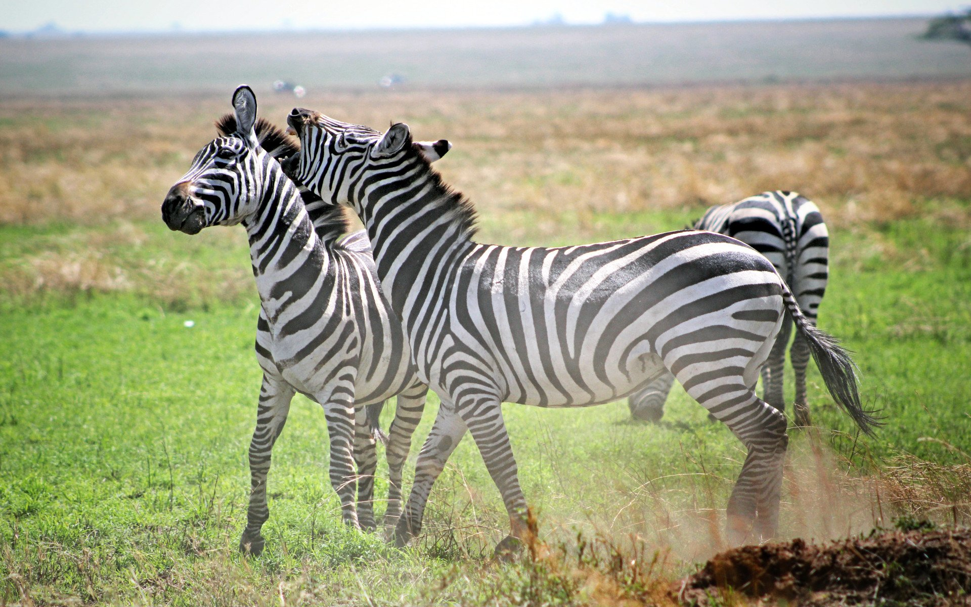 Places to spot Zebras: Lewa Wildlife Conservancy in Northern Kenya and Masai Mara National Park.