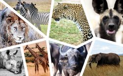When travellers go on a Kenya safari, they expect to see the so-called Big Five. We have added 3 more to give you the top 8 animals to see.
