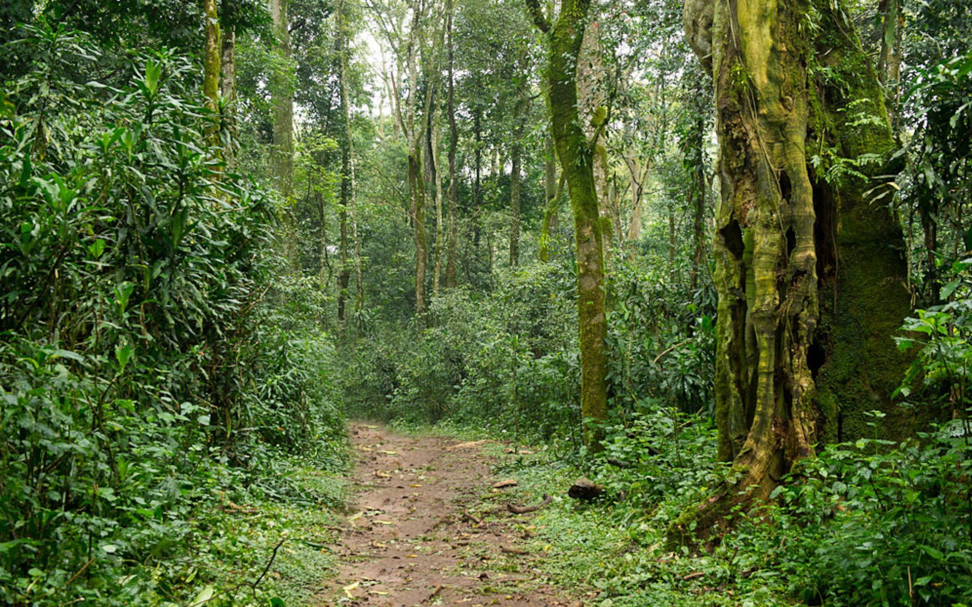 Kakamega Forest Reserve has over 7 KM of walking trails you can take under the guidance of a team of rangers ready to escort you through the forest.