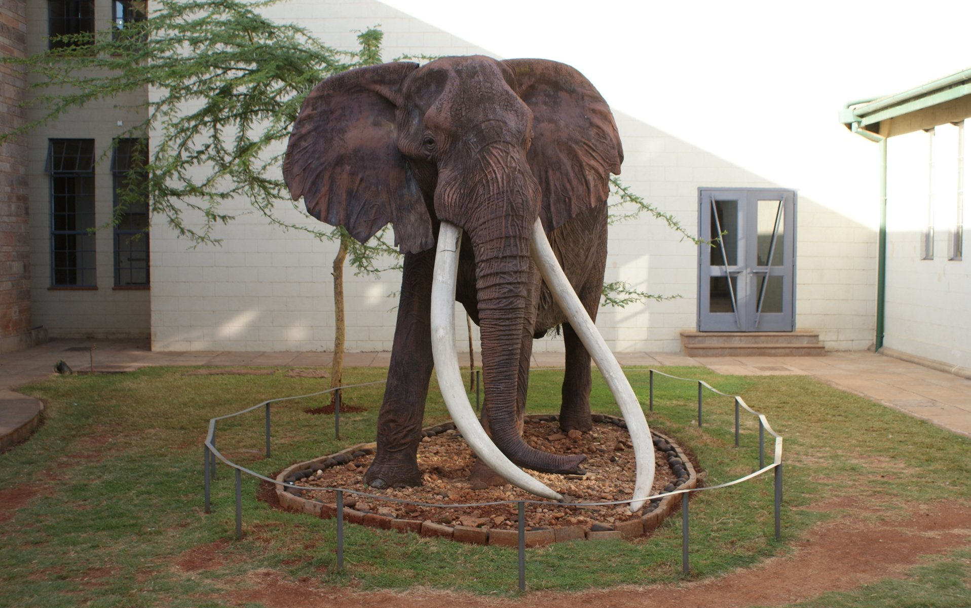 At the Nairobi National Museum, the mummified statue of Ahmed still stands tall nearly a century after his death. Ahmed lived and died at the Marsabit National Park.